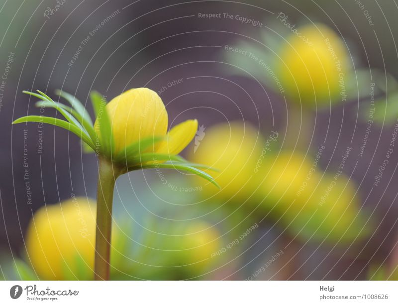 sunny yellow... Environment Nature Plant Spring Flower Leaf Blossom Eranthis hyemalis Spring flowering plant Bud Stalk Garden Blossoming Stand Growth Esthetic