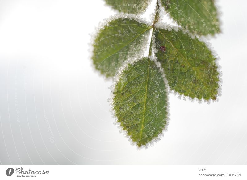 Frosty leaves Winter Ice Leaf Foliage plant Cold Frozen Exterior shot Detail Macro (Extreme close-up)
