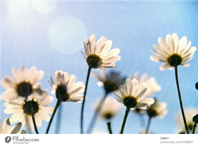 flowerpower Sun Flower Growth Balcony Meadow Marguerite Spring Summer Beautiful Airy Flexible Easy Light heartedness Garden Park Blue Sky Blue sky Nature