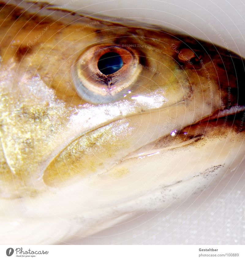 Eyes Glittering Nutrition Fish Cooking & Baking Agriculture Muzzle Formulated