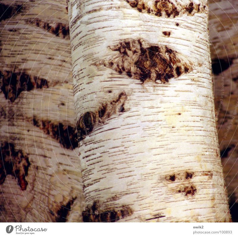Swedish national plant Tree bark Birch tree Birch bark White Sweden Scandinavia Northern Europe Detail Beautiful Bright Nature Structures and shapes