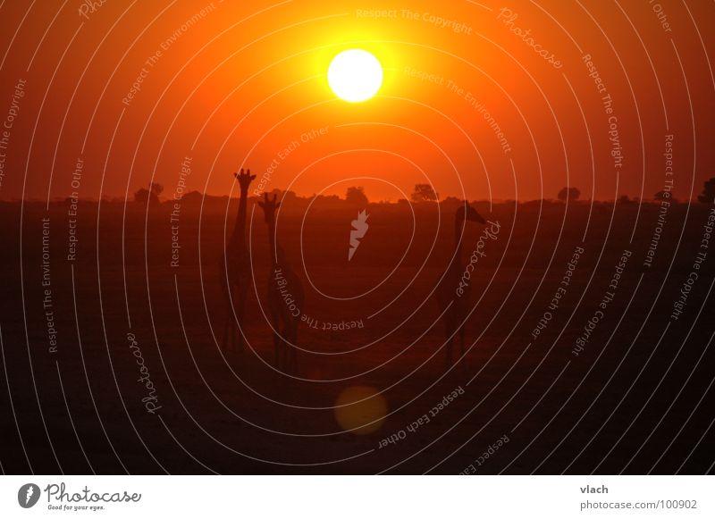 Africa Sunset Moody Animal Giraffe Desert Evening