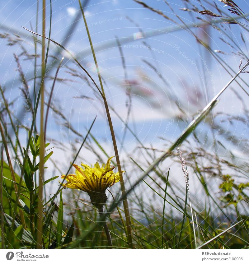 meadow beauty Meadow Flower Dandelion Blade of grass Grass Loneliness Beautiful Yellow Flower meadow Summer Growth Blossom Green Mountain Sky Graffiti Blue Hide