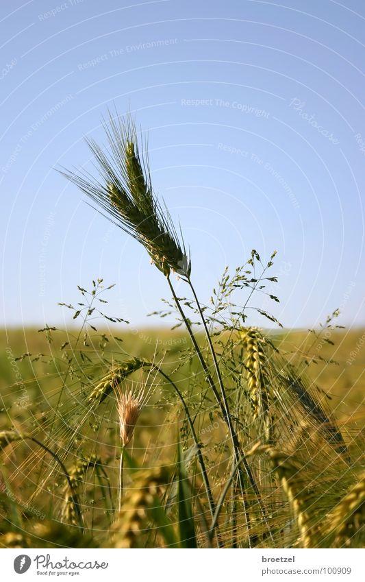 Sky Blue Summer Grain Agriculture Cornfield Barley Rye