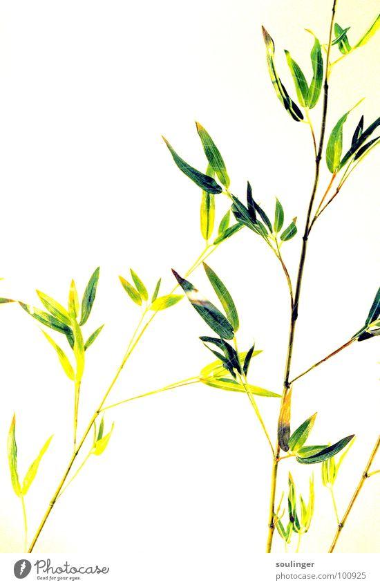 Nature Green Plant Japan Exotic Bamboo stick Overexposure
