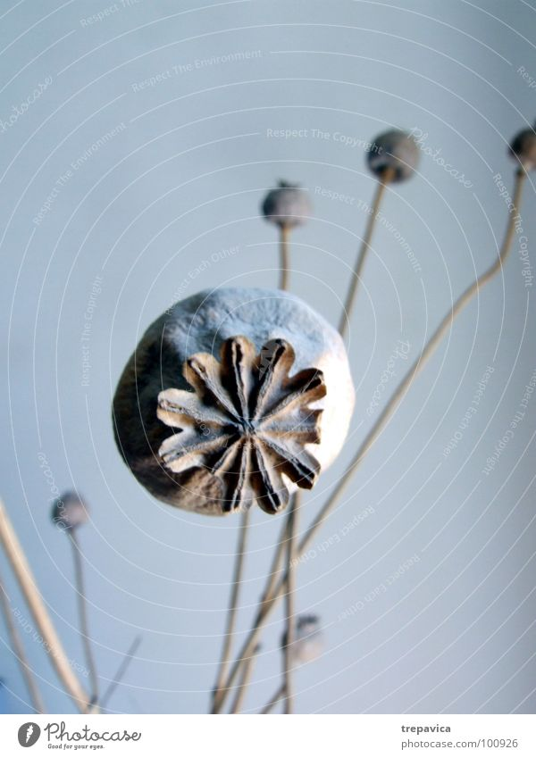 poppy I Dry Poppy capsule Plant Flower Round Dried Seed Bouquet Dried flower Grief Decoration Blue 1 fine Sadness Nature Twig Branch