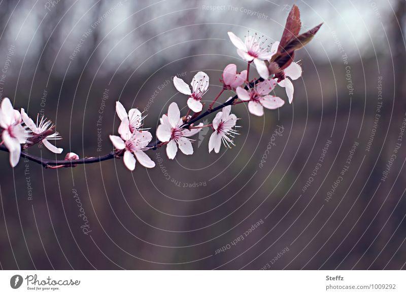 romantic cherry blossom in April Cherry blossom spring awakening Spring Flowering pink flowers spring blossoms pink blossom delicate blossom pink petals