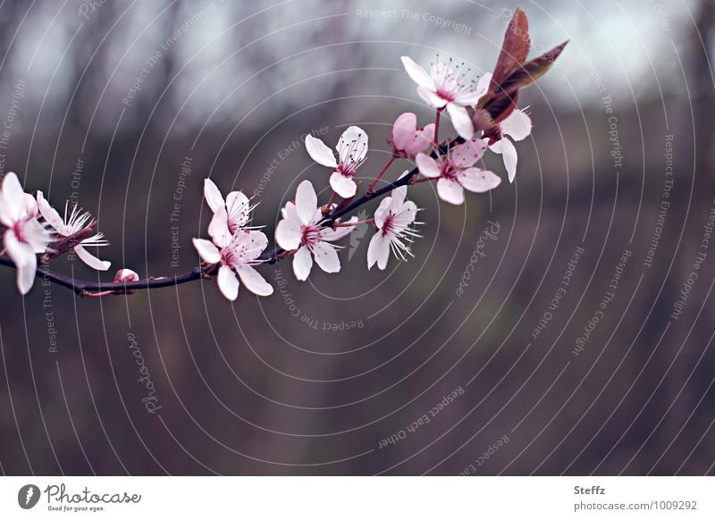 to conjure up spring. Nature Plant Spring Blossom Cherry blossom Twig Twigs and branches Blossoming New Brown Pink Spring fever Anticipation Romance Beginning