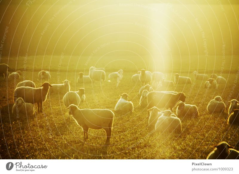 Sun dance of the sheep Elegant Style Agriculture Forestry Nature Landscape Beautiful weather Field Animal Pet Farm animal Group of animals To feed Esthetic
