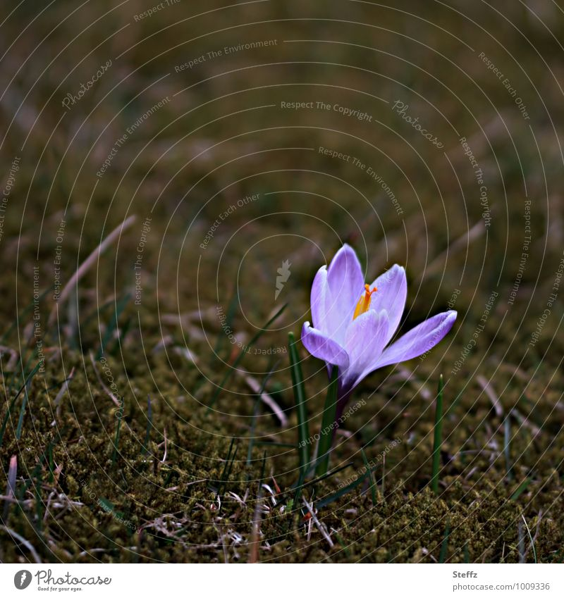 Nature Plant Flower Spring Beginning Blossoming Sign New Violet Anticipation Spring fever Wild plant Crocus March Spring flower Spring flowering plant