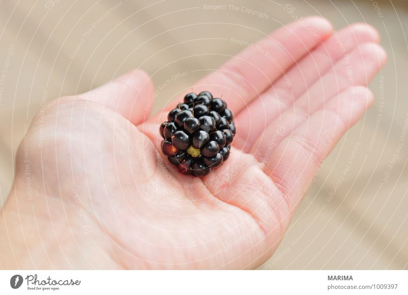 to pick blackberries, one berry in the hand Food Fruit Nutrition Vegetarian diet Hand Environment Nature Fresh Delicious Black Berries organic Biological