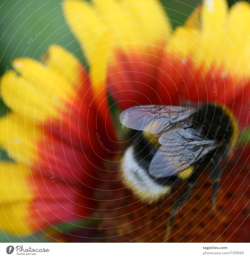 Red Black Yellow Work and employment Blaze Flying Services Collection Pollen Working man Bumble bee Diligent Stamen Nectar Collector