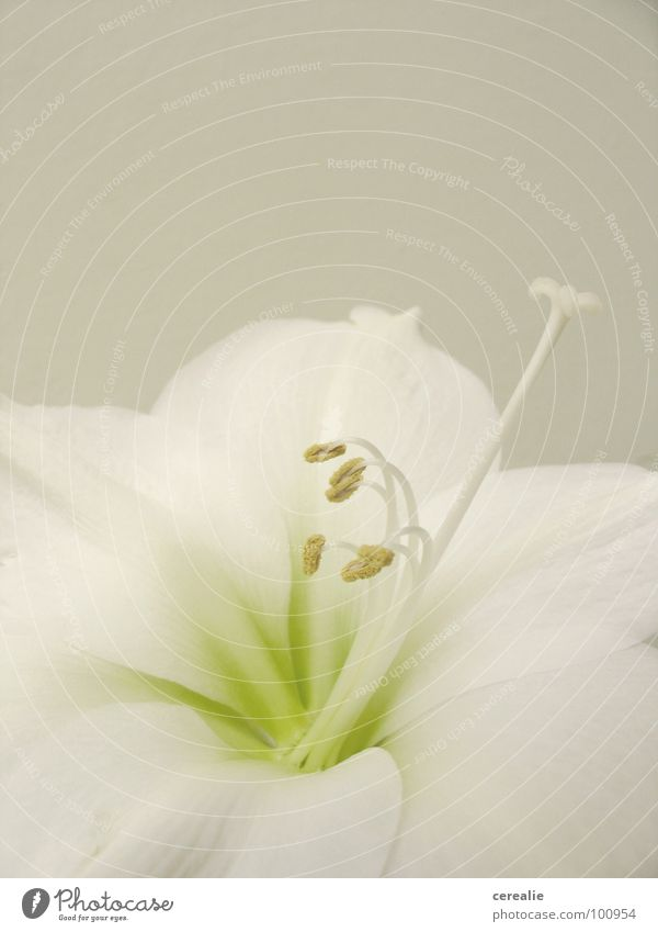 White Flower Plant Blossom Bright Seed Harmonious Beige Graceful Pistil Pastel tone Calyx Amaryllis Tone-on-tone