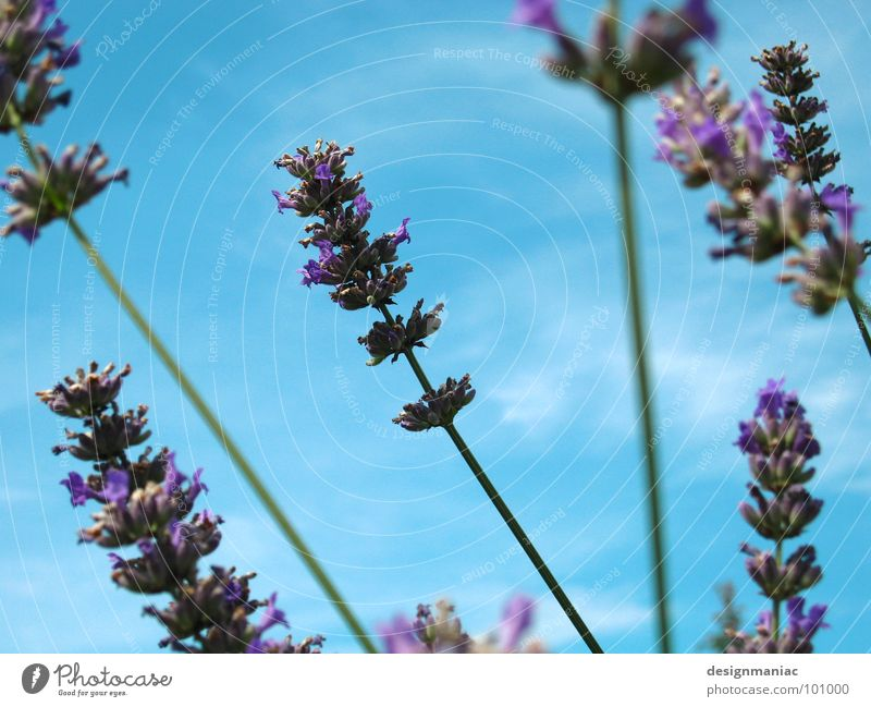 Li La Vendel Lavender Clouds Blade of grass Blur Worm's-eye view Light blue Grass Ecological Pure Field Airy Bee Flower Violet Bumble bee Collection Search