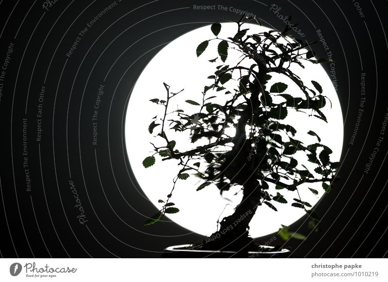 Bonsai Tomodachi Plant Tree Leaf Foliage plant Blossoming Growth Dark Silhouette Asia Japanese Bonsar Full  moon Botany Black & white photo Subdued colour