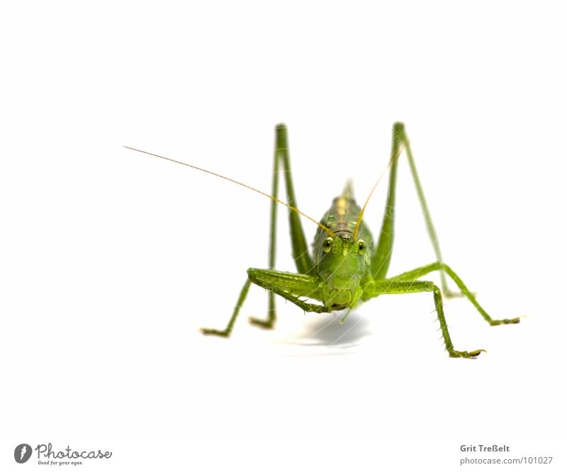 Green Jump Hop Locust Great green bushcricket