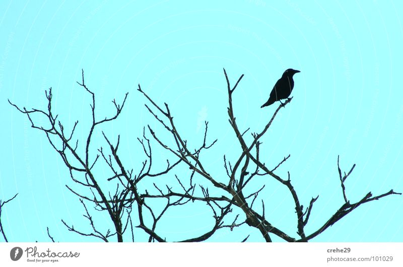 crehe1 Bushes Crow Greeny-blue Bright green Tree Bird Raven birds creep Twig Branch peek Observe Sky Nature