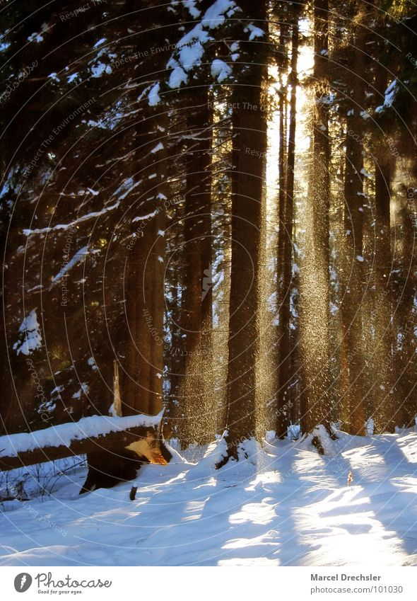 winter forest Forest Tree Light Clearing Cold Winter Flake Trickle Calm Loneliness Morning Erz Mountains Snow Frost Light rays Sun Tree trunk bear stone