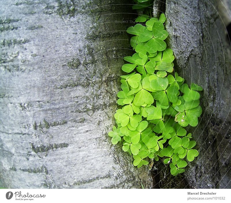 Wood Sorrel in the Furrow Clover Green Tree Tree bark Spacing Gray Plant Spring Beautiful Room Column Nature Happy optimistic optimism