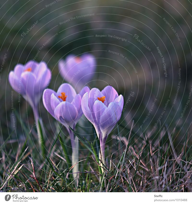 Nature Plant Flower Spring Beginning Blossoming New Violet Anticipation Spring fever Wild plant Crocus New start March Spring flower Spring flowering plant