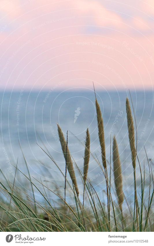 Reed at the dune Environment Nature Plant Water Sunrise Sunset Summer Grass Coast Beach North Sea Ocean Natural Beautiful Blue Green Pink egmond Common Reed