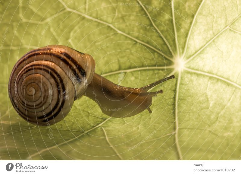 Elegant Leaf Nasturtium leaf Animal Wild animal Snail Snail shell Vineyard snail Feeler Slowly 1 Spiral Movement Simple Disgust Creepy Small Natural Curiosity