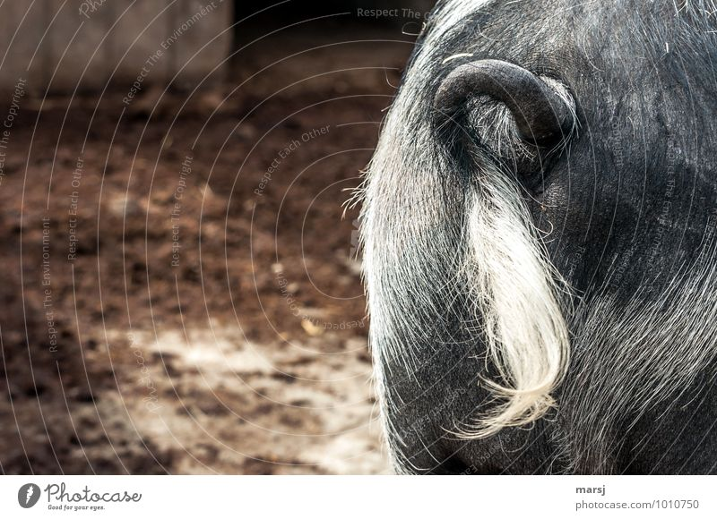 Animal Hair Authentic Simple Hind quarters Irritation Hang Arch Disgust Whorl Farm animal Tails Swine Sow Bristles Inhibition