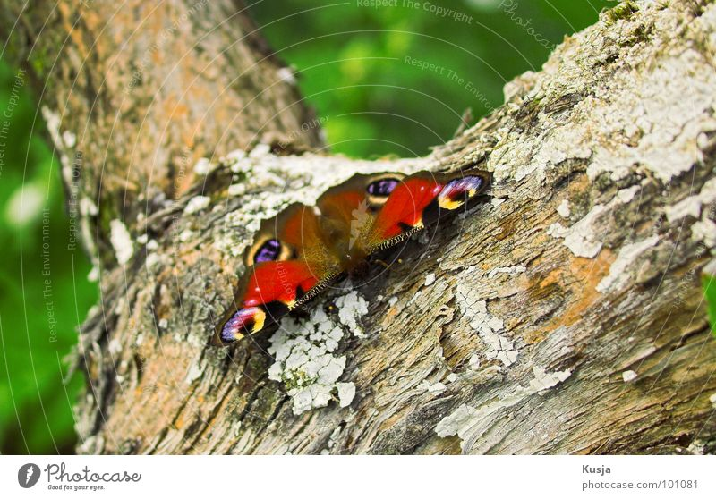 Peacock Butterfly Peacock butterfly Small Insect Pattern Colouring Red Tree Tree bark Animal Beautiful Easy Ease Wing Wood grain Bundle Sit Wait Flying fly away