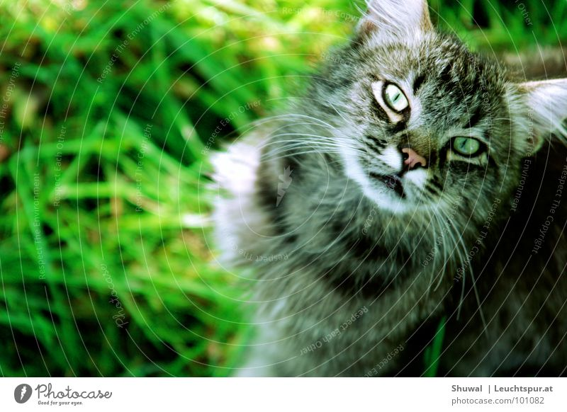Nature Meadow Style Grass Gray Cat Dangerous Ear Threat Looking Evil Mammal Pet Striped Hunter Domestic cat