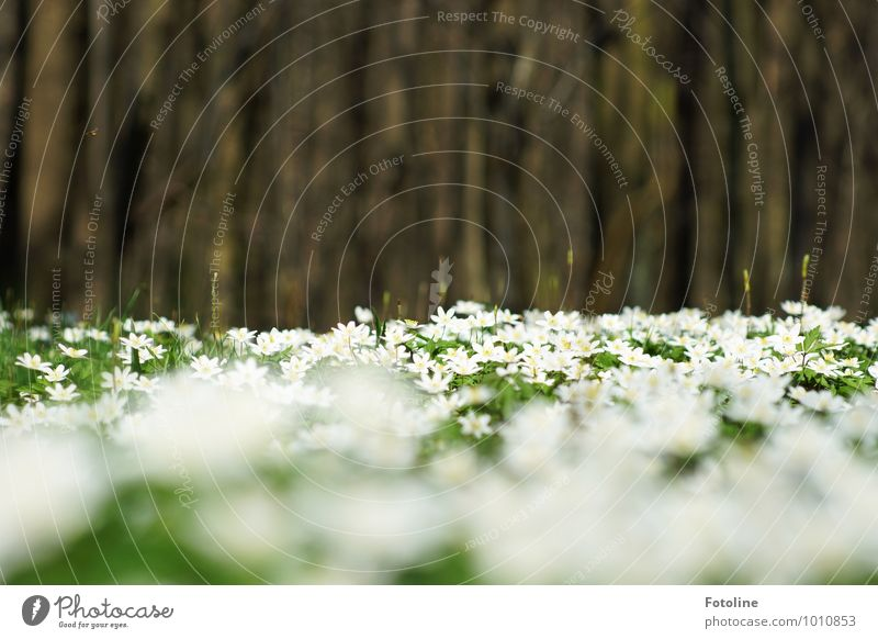 Sea of anemones Environment Nature Plant Spring Beautiful weather Tree Flower Park Forest Bright Natural Brown Green White Wood anemone Spring flowering plant
