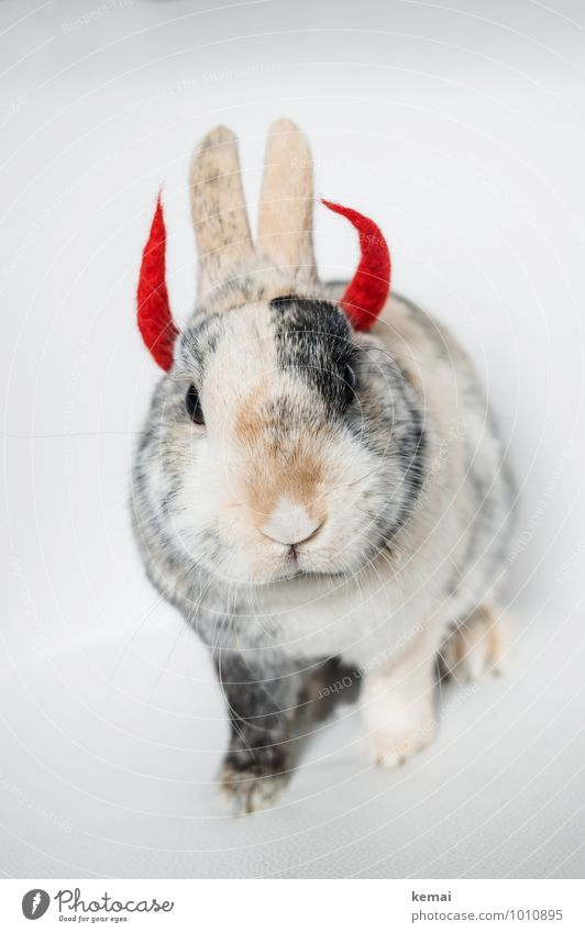 Bright courage Animal Pet Animal face Pelt Pygmy rabbit Hare & Rabbit & Bunny 1 Devil devil horns Antlers Hell Looking Sit Exceptional Cool (slang) Cute Crazy