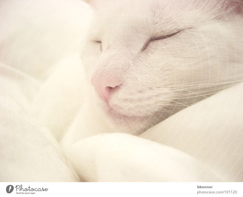 White Relaxation Cat Nose Sleep Peace Pelt Mammal Cushion Peaceful