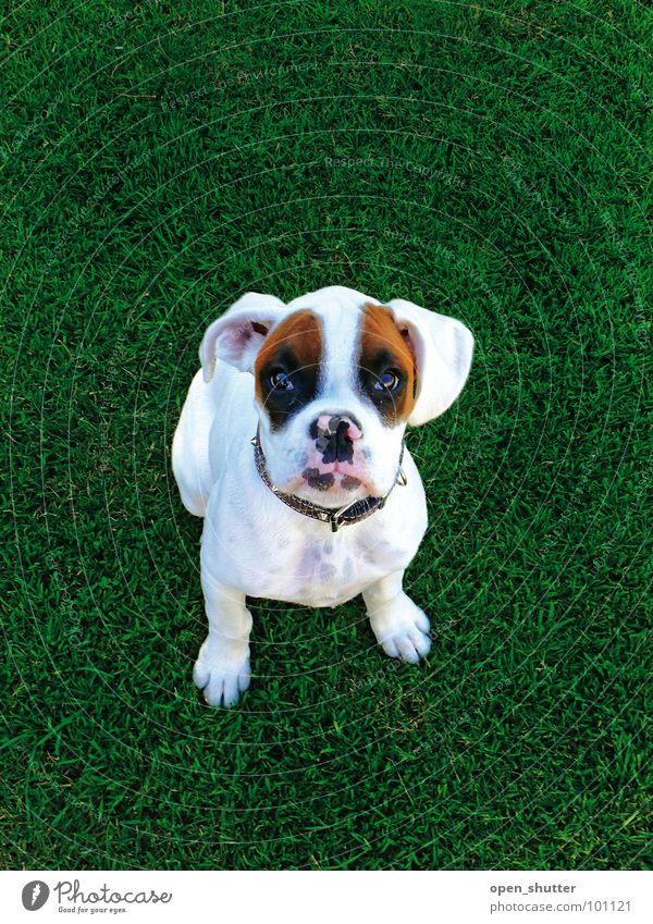 black eyed suzy Animal puppy Boxer dog pet grass cute lawn white dog