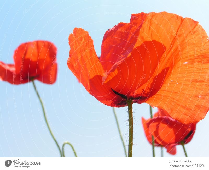 pleated blind Poppy Red Summer Flower Blossom Field Beautiful Juttas snail flowers blossoms fields