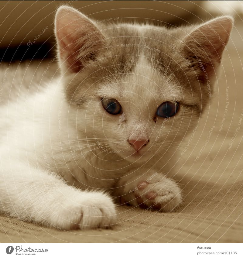 White Animal Colour Cat Brown Sweet Sofa Mammal Paw Timidity Cuddly Snout Cat eyes Cat's ears