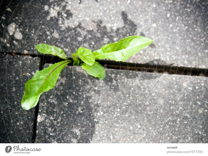 Dandelion Blade of grass Botany Breach Leaf green Concrete Brick Crack & Rip & Tear Stone Plant Flower Grass Ground Growth Herbs and spices Life Survive Natural