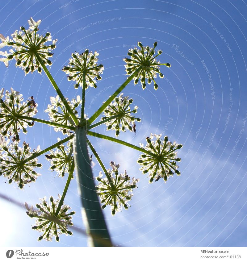 stars in summer Plant Flower Blossom Growth Worm's-eye view Aspire Green Meadow Clouds Beautiful Summer Sky Blue Tall Blossoming Star (Symbol) xxee