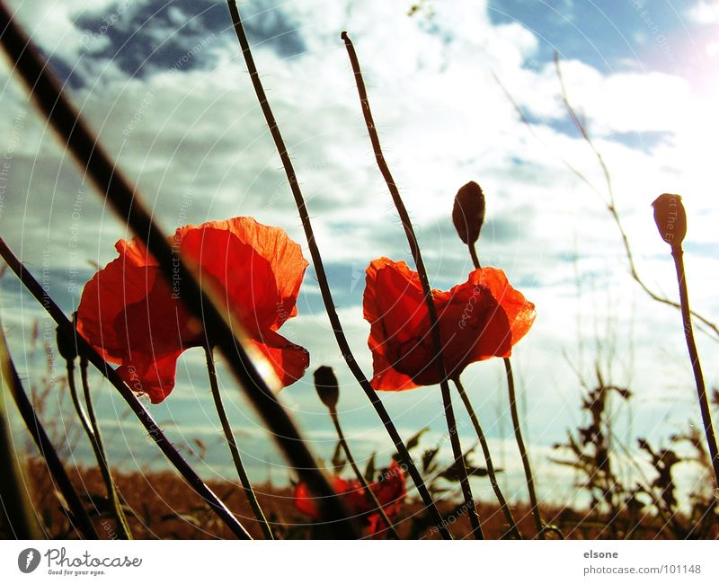 dreamlover Poppy Flower Plant Field Clouds Blossom Red Green White Dream Heavenly Beautiful Summer Dresden Riesa Sky Nature Sun Blue Earth lilies Great spring
