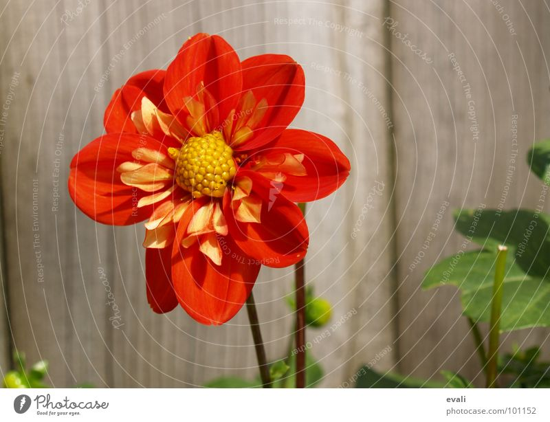 sun worshipper Flower Blossom Dahlia Stalk Spring Summer Red Yellow Fence Garden fence Wood Jump Blossoming Colour bloom Nectar