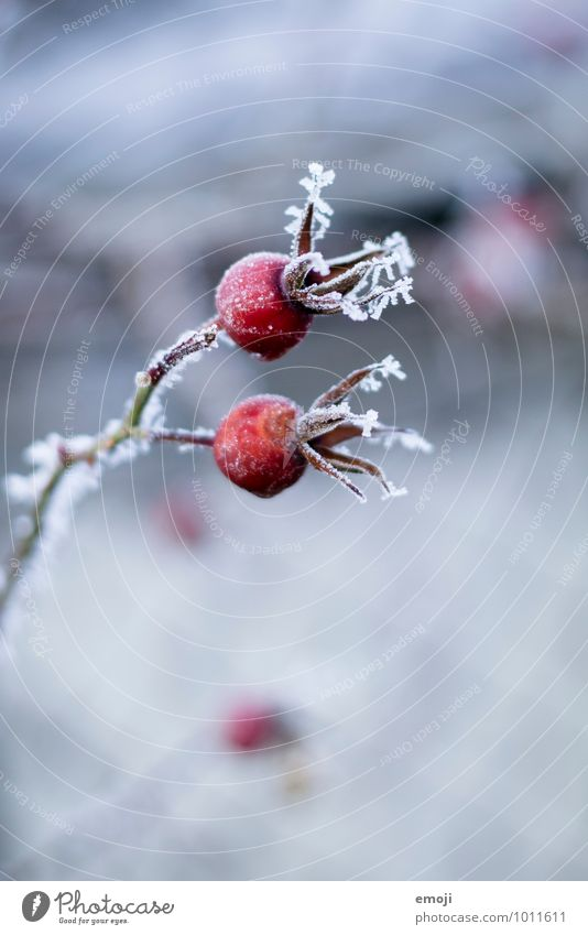 Nature Blue Plant Red Flower Landscape Winter Cold Environment Snow Natural Ice Frost Rose hip
