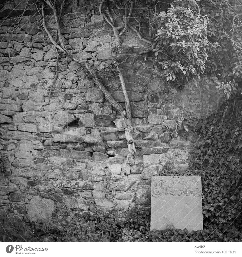 epitaph Environment Nature Plant Grass Bushes Wild plant Ivy Leaf Wall (barrier) Wall (building) Old Historic Calm Hope Belief Humble Grief Eternity Idyll Pure