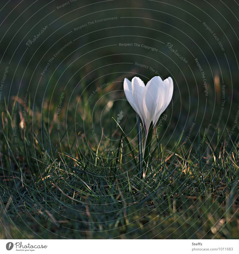 Nature Plant Beautiful Green White Flower Blossom Spring Beginning Blossoming Sign New Point of light Spring fever Crocus March