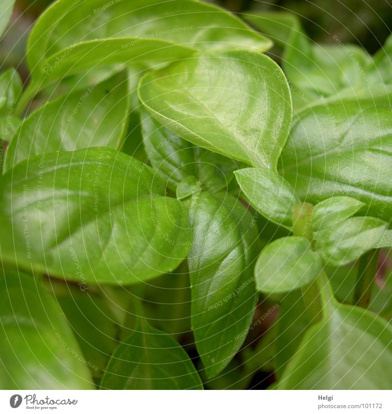 Close-up of a fresh basil plant Basil Herbs and spices Growth Stalk Blossom Green Glittering Together Consecutively Side by side Leaf green Cooking Kitchen