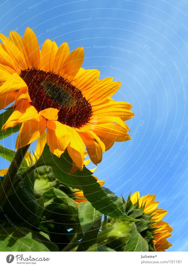 summer Sunflower Green Against Plant Sky Beautiful Flower Summer Blue sun