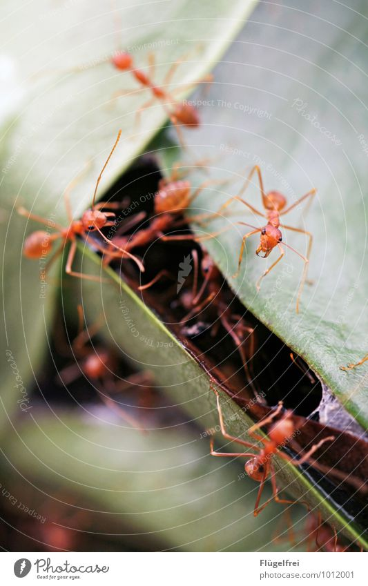Busy tree ants Group of animals Observe Attack Pair of pliers Insect Ant Build Connect Nature Sri Lanka Asia Leaf Tree Nest Many Red Colour photo Exterior shot
