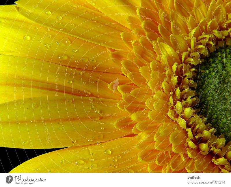 Refreshing Yellow Gerbera Jump Spring flowers black beautiful Calm static attractive stunning petals season water colorful