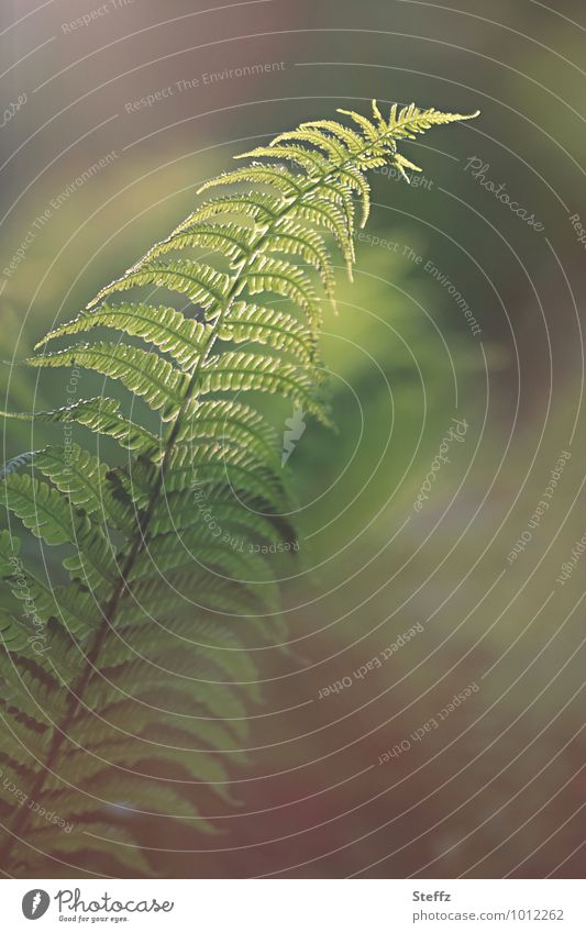 between fern and dream Fern forest fern Picturesque Poetic Gorgeous Domestic native forest plant forest bath magical hour fantastically beautiful cryptic