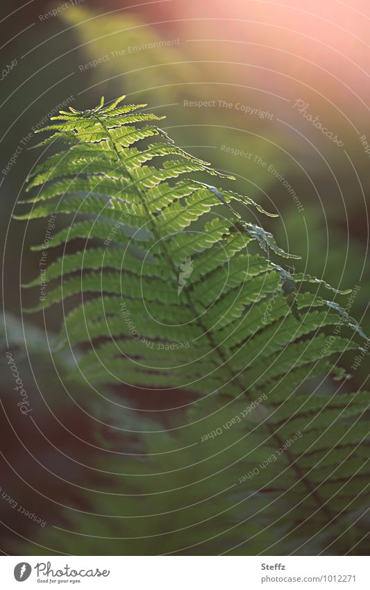 Magic of the forest fern Nature Plant Spring Foliage plant Wild plant Fern Fern leaf Forest Green Forest atmosphere Mood lighting Moody Mysterious Blur