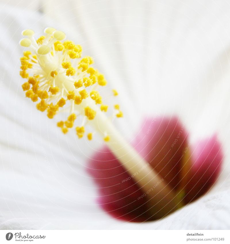 hibi Flower Blossom Yellow White Hibiscus Flower stem Lina Pollen Colour photo Close-up Detail Macro (Extreme close-up) Deserted
