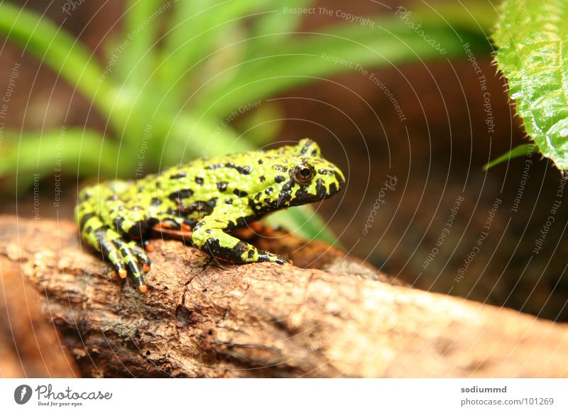 Bombina orientalis Toad Green Fire bellied toad Frog Amphibian red-bellied Nature